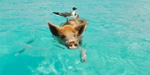 Island Hopping in one of the best places in Thailand, Koh Samui with the pigs