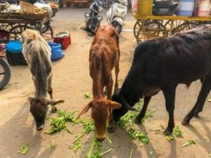 three cows eating while Visiting Pushkar India