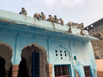 Monkeys on top of a house in Pushkar India